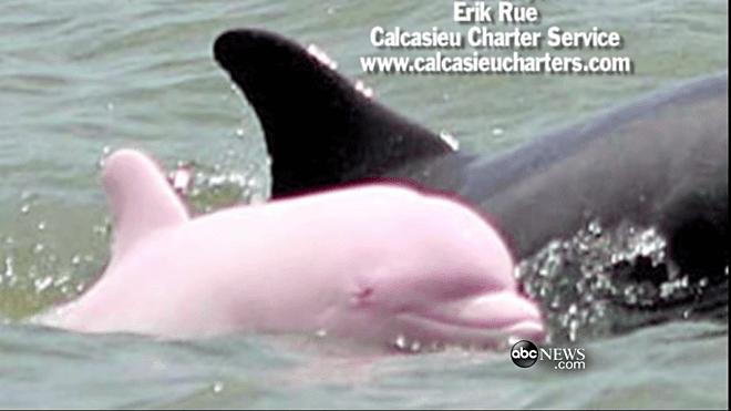 Вы видели розового дельфина? Моряк снял это чудо на камеру!