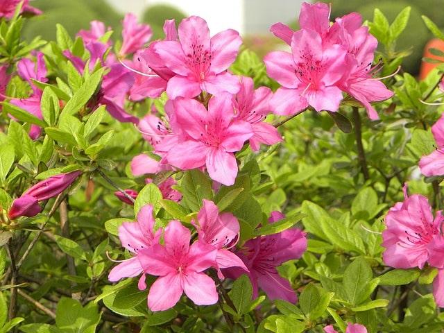5 ядовитых декоративных растений! Проверьте нет ли их в вашем дворе!
