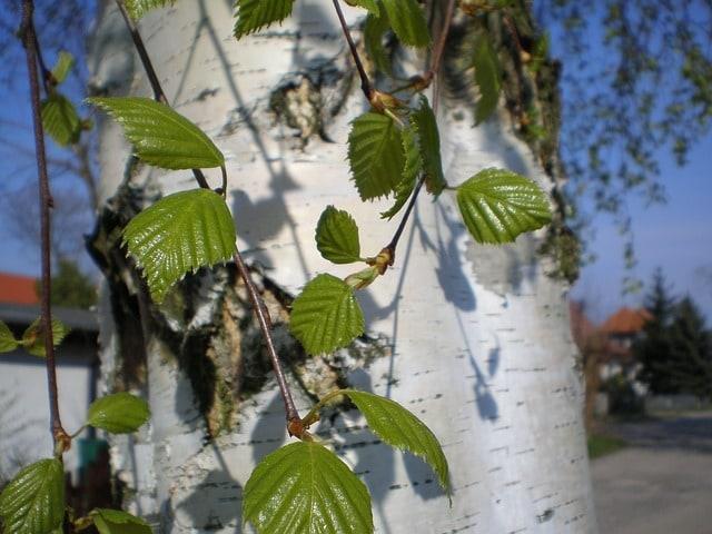 Чем полезны березовые листья? Рецепты которые пригодятся на все случаи!