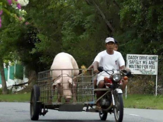 Мужики решили свести своих свиней. И чем это закончилось?