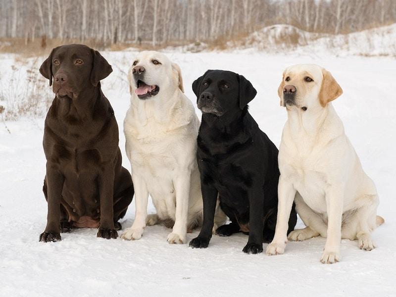 Самые умные собаки. Точный рейтинг по интеллекту!