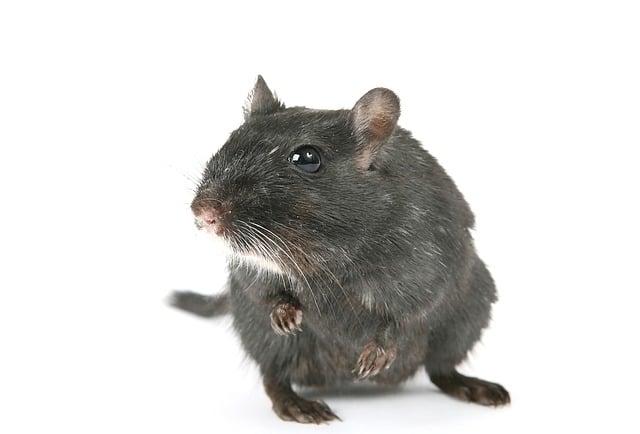 Ерёма - единственная в мире крыса, которой в благодарность поставили памятник!