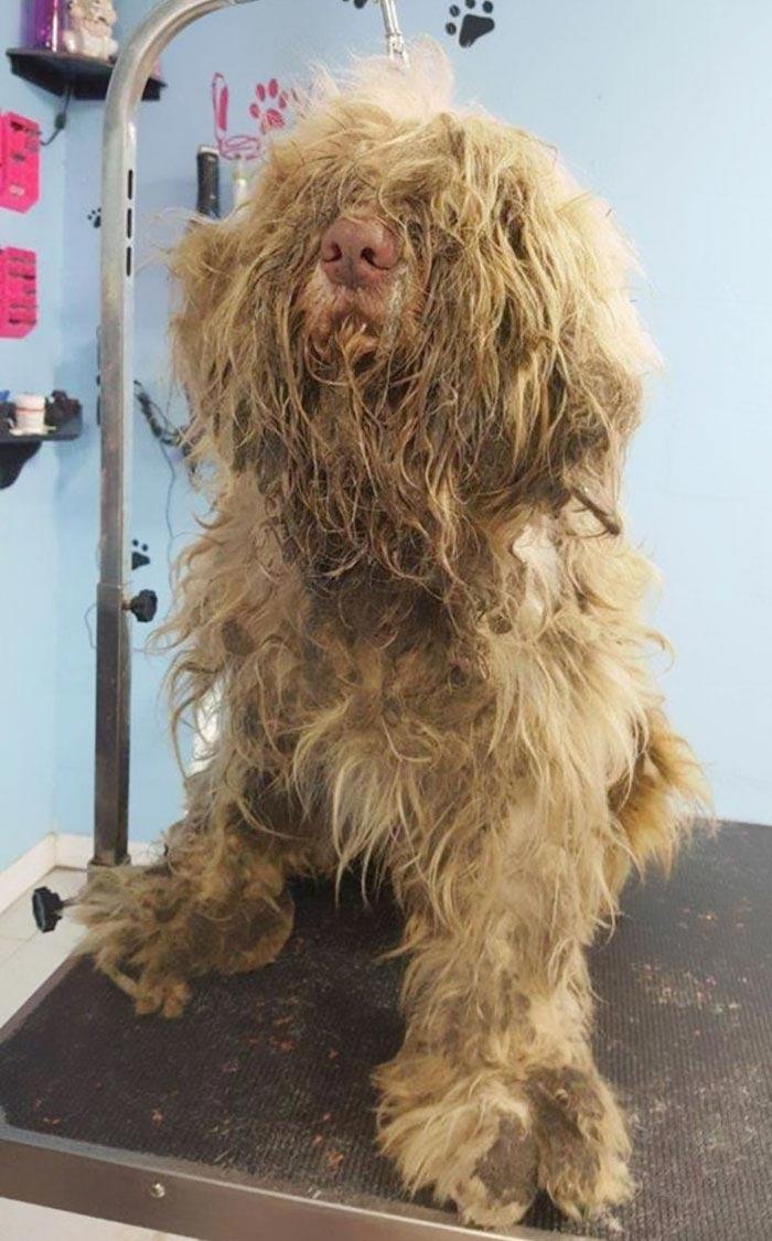 Животное из-за шерсти уже не могло ходить. Когда его побрили, то увидели милейшее создание!