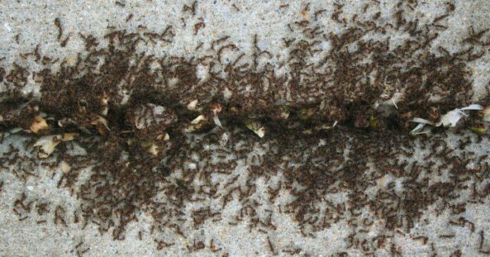 Как избавиться от муравьёв в доме?