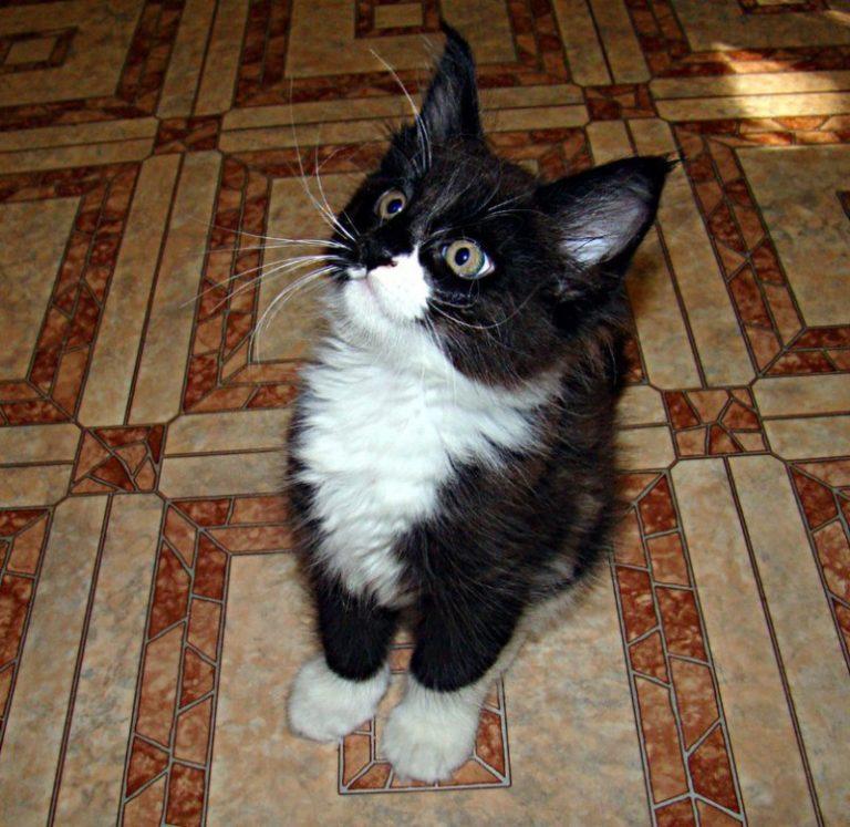"""Семья не предполагала, что через год крошечный котеночек станет """"львом""""!"""
