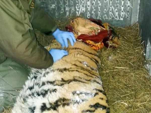 Удивительный случай: тигрица пришла к людям за помощью!
