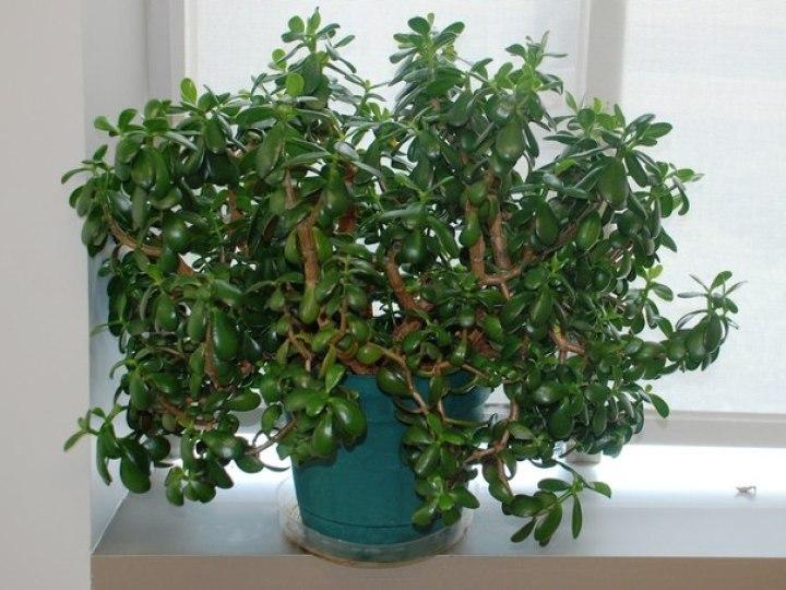 """Почему желательно растить дома """"денежное дерево""""?"""