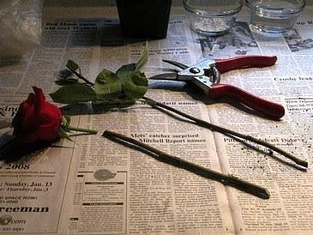 """Воспользовалась маминой """"Тройчаткой"""" и прорастила розы!"""