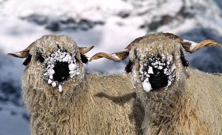 Люди в растерянности: эти овцы прекрасны или ужасны?