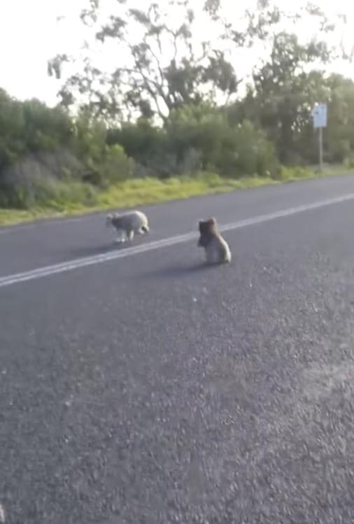 Два зверька парализовали движение на трассе и стали звездами интернета!