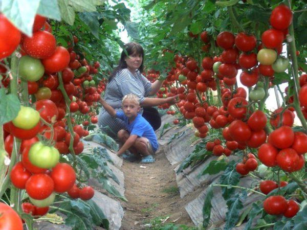 Рецепт подкормки томатов рассказал один дачник. Много лет получаю отличный урожай!
