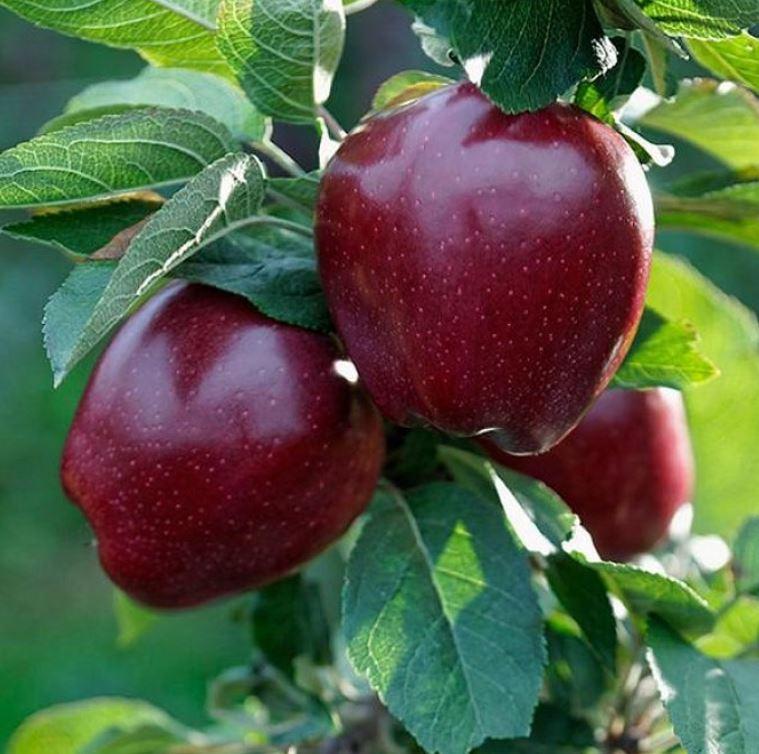 Сладкие сорта яблонь: Делишес и Старкримсон, разница и особенности сорта.