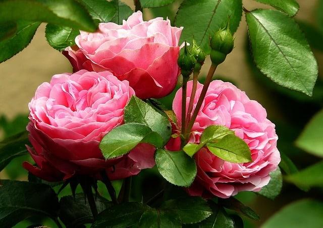 Как подготовить розы к зиме: 5 важных рекомендаций садоводам!