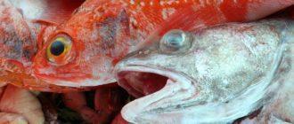 В первую очередь, выбирая свежую рыбу, обратите внимание на запах в магазине, если там подозрительно пахнет, сразу же уходите. Подозрительный запах говорит о том, что, по крайней мере, часть рыбы на рынке хранилась слишком долго или неправильно. В этой статье мы расскажем, как выбрать свежую рыбу и морепродукты.